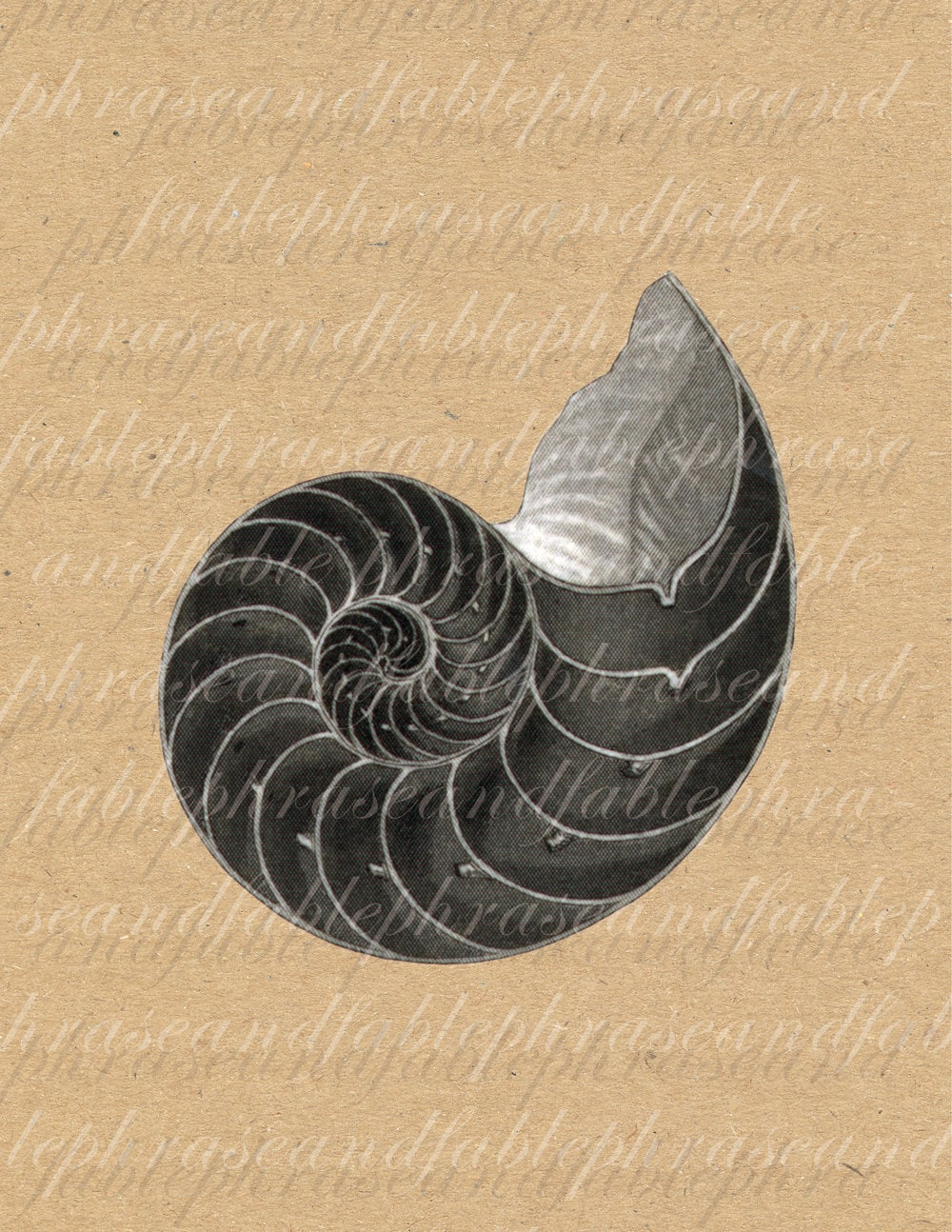Chambered Nautilus Drawing Nautilus Shell 051 Iron on