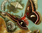 1897 Antique lithograph of MOTHS, BUTTERFLIES. BUTTERFLY. Insects. Entomology. 120 years old nice print