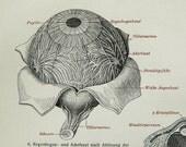 1900 Antique fine engraving of a HUMAN EYE, EYEBALL. Anatomy. 116 years old anatomical print.