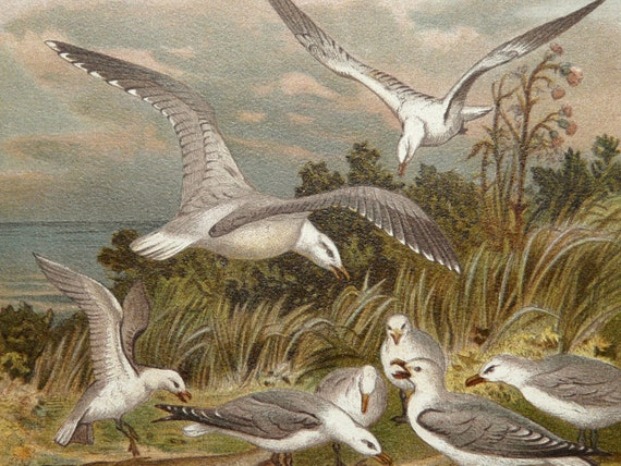 1894 Antique fine lithograph of SEA LIFE, SEAGULLS, Flatfish. 118 years old print.