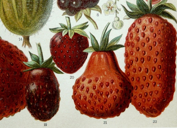 1897 Antique fine cromolithograph of BERRIES, STRAWBERRIES, FRUITS. 115 years old gorgeous print.