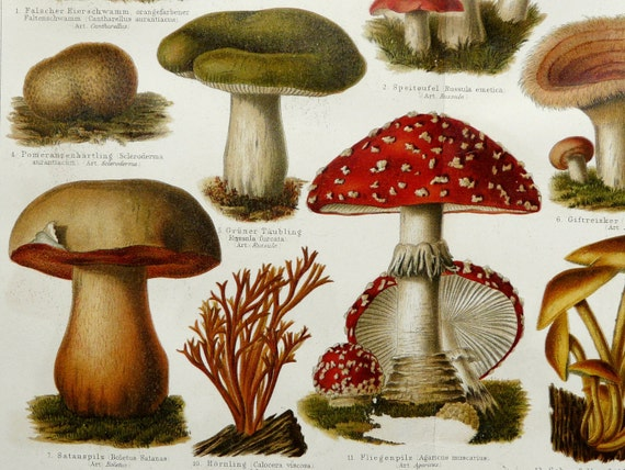 1897 Antique fine lithograph of MUSHROOMS and FUNGUS. Amanita muscaria. 115 years old gorgeous print.