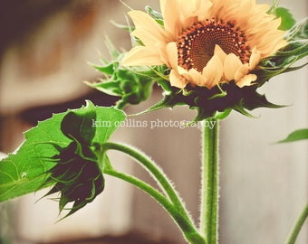 Sunflowers on the Farm-Floral/Nature Photography-multiple Sizes Available-Color-Fine Art Photography