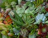 125 Succulent cuttings, wholesale, Succulent plants