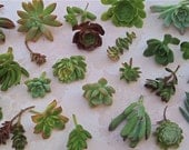 50 SUCCULENT CUTTINGS - Boutonnieres, Bridal bouquets, Succulent wedding favors, Bridal Shower