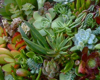 75 Succulent cuttings, Succulent plants, Topiaries, Wedding Favors, Clippings
