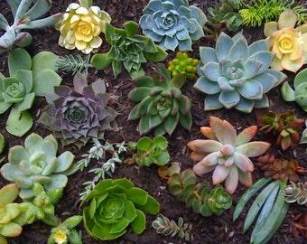 12 SUCCULENT CUTTINGS, Rosettes, Wedding Favors, Succulent Garden,Echeveria, Color Succulents