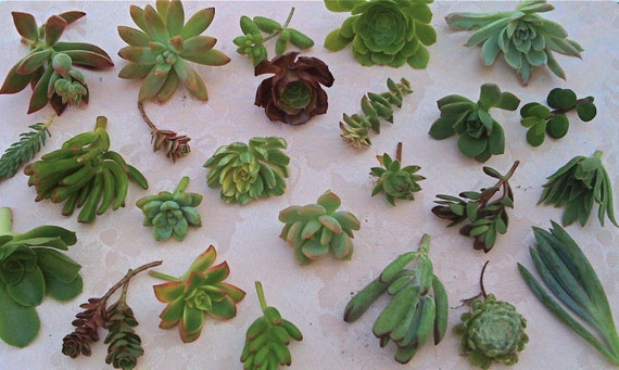 SUCCULENT PLANTS- 100 SUCCULENT colorful cuttings