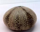Large Brown and Tan Striped Sea Urchin (35)