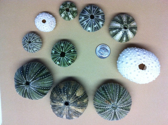FS in the USA Caribbean Sea Urchins (lot number 173)