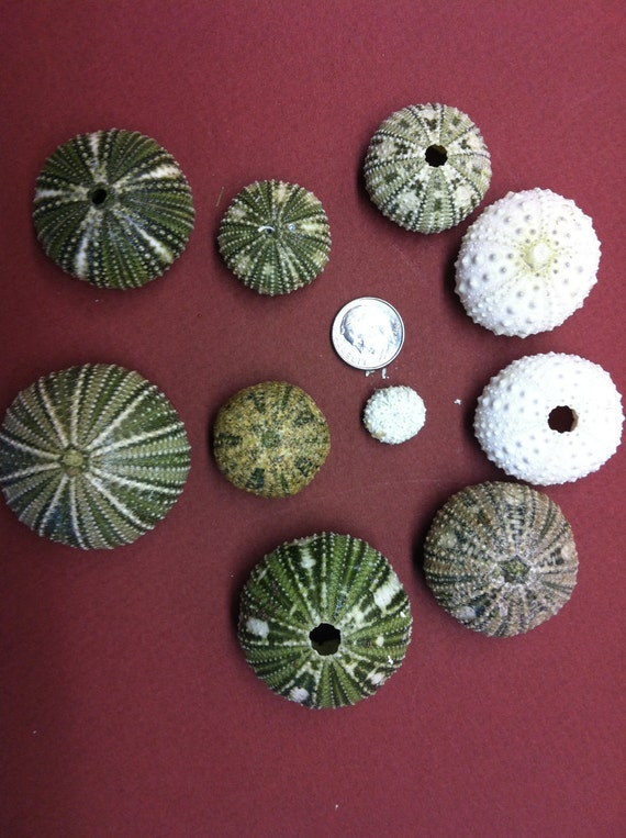 FS in the USA Hand Picked Green and White Sea Urchins (lot number 175)