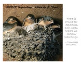 Barn Swallow fledglings ready to fly - photo greeting card