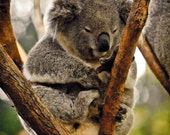 SALE 5 dollars / Koala / Relaxing / Animal / 8x10 photo
