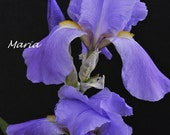 "8x10 Fine Art Photography Print titled ""Valor""  springtime bearded Iris"