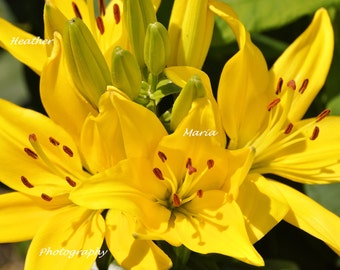 "8x10 Fine Art Photography Print, Yellow Asiatic Lilies titiled ""Cheerful"""