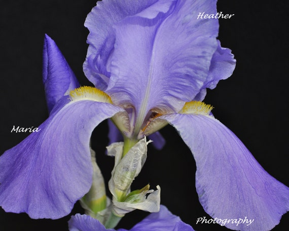 "8x10 Fine Art Photography Print ""Elegant Iris"" springtime beauty"