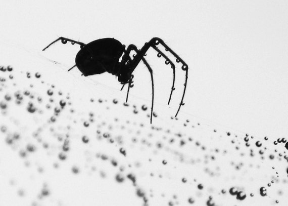 Collector of Tears 1 - Black & White Photography / Imaging - spider / spider web / web / droplets