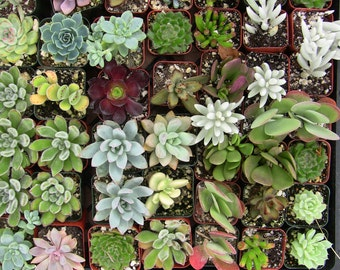 Collection of 40 2-inch Succulents