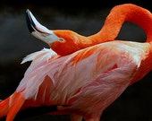 Caribbean Flamingo:  Print Size (8 x 12 ) On Metallic Archival Paper.