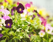 Pansies Spring Photograph - High Quality Fine Art Photography Print - Dreamy Nature Spring Photography