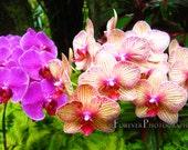 Hawaiian Orchids - Zen, Asian, Pink, Purple, Peach, Cream, Wall Art, Nursery, Little Girl's Room, Gift Idea, Home Decor or the Office 8x12