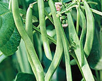 Blue Lake Heirloom Pole Bean Seeds Stringless Non GMO