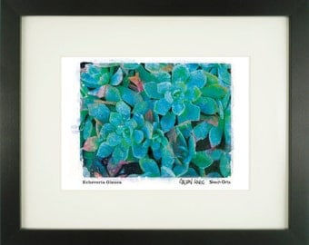 "Echeveria Glauca, ""Blue Hen and Chicks"", With Frame of Choice, Matted, and Signed Art Print"