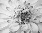 Photo Card - White Dahlia, Flowers, Black & White, Fine Art Photography 5x7 Folding Blank Card