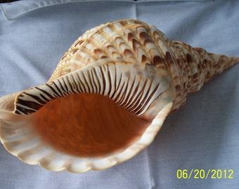 Seashell, pacific Triton Trumpet, perfect specimen
