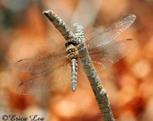Nature Wall Art Photography Dragonfly Art Rustic Dragon Fly Photo with Fall Colors Fine Art Print