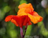 Orange Flower Photography, Canna Lily photo, floral wall art, nature photography, orange and green home decor, 5x7 8x10 11x14 print