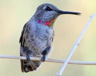 Singing Bird Photography Hummingbird Photo Nature Wall Art Hummingbird Gift 11x14 8x10 5x7 Print - Whistle While You Work