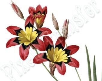 Instant Download Large Digital Image IXIA in color, vintage flower illustration REDOUTE 017