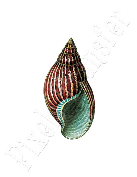 SEASHELL Instant Download Digital Downloads large digital image, vintage illustration 079