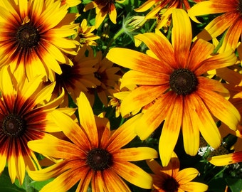 Brown-Eyed Susans, Matte Print