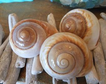 Beach Decor Mountain Land Snail Shells - Seashell Supply - Coastal Home Decor - Seashells - Wholesale Craft Supply