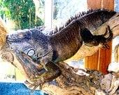 Snoozin' Iguana, signed by artist, Unframed