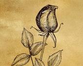 Fine Art Print - Rose Illustration (5x7)