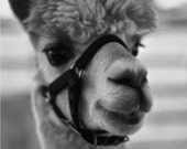 Classic Black and White Photograph, Animal Print, Alpaca - At the Fair No. 1 (4x6)