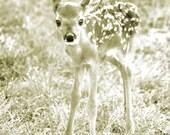 Single 8x12 print - Fawn portrait - nature photography