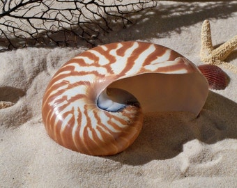 "Natural Nautilus Shell 5""-6"" large Supply"