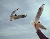 Seagulls eating from hand -home decor - photo -8x12