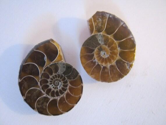 Nautilus Ammonite Fossil Pair AMPR10