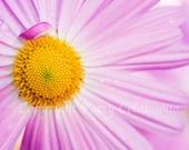 8x10 Photo of Beautiful Pink Mum, fine art photography, Nature, Chrysanthemum,Enlargement