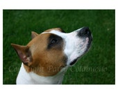 American Staffordshire Terrier Photo Note Cards, Set of 4, Fine Art Photography,Dog,Pit Bull