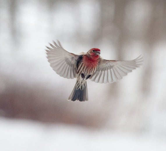 The Art of Staying Aloft No. 21 House Finch (Carpodacus mexicanus)