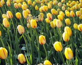 """Yellow Tulip Field  """"Smile its a Beautiful Day""""  signed"""