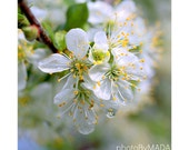 Cherry Blossom  Photography, Nature, Macro, Home Decor, 5 x 5 print Fine Art Photography Print