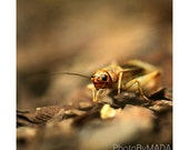 Cricket Insect Photography, Nature, Macro, Home Decor, 5 x 5 print Fine Art Photography Print, brown, warm tones