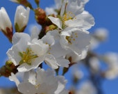 white blossoms in blue sky